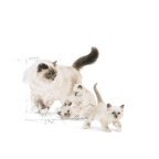 Royal Canin FHN Mother & BabyCat 2kg - [Out of Stock]